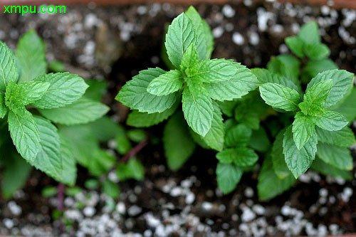 stevia sac 100 graines stevia herb seeds substitut naturel du sucre herb seeds bonsa maison. Black Bedroom Furniture Sets. Home Design Ideas